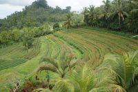 バリ島は棚田(ライステラス)が美しいことで有名。