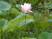 夏になると蓮畑に沢山の花が咲く。