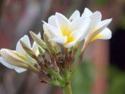 ラオスの国花「プルメリア」