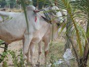 カンボジアでは牛が様々な役割を負っています