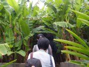 芭蕉の畑を見学