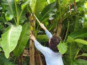 平良美枝子さんによる芭蕉の葉を刈るところのデモンストレーション